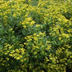 Vrtnarstvo Breskvar - Ruta graveolens