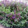 Vrtnarstvo Breskvar - Salvia officinalis