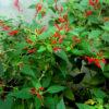 Vrtnarstvo Breskvar - Salvia rutilans