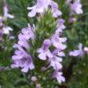 Vrtnarstvo Breskvar - Satureja hortensis