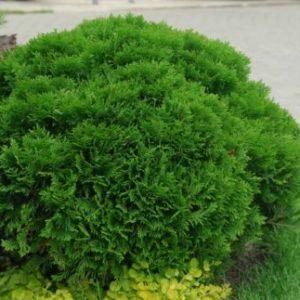 Vrtnarstvo Breskvar - Thuja occidentalis Danica