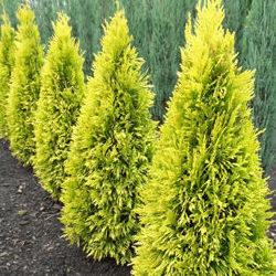 Vrtnarstvo Breskvar - Thuja plicata 4-ever Goldy