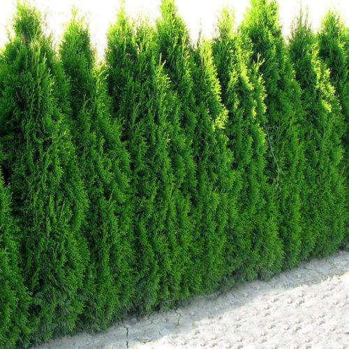 Vrtnarstvo Breskvar - Thuja Smaragd