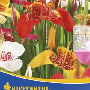 Vrtnarstvo Breskvar - Tigridia Mix