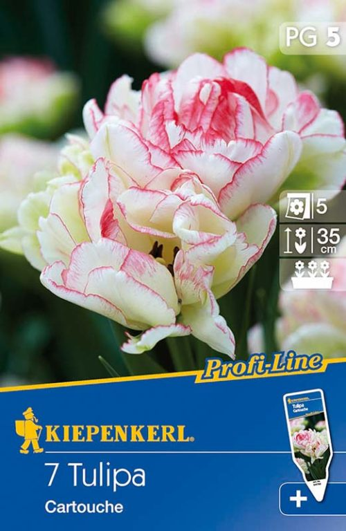 Vrtnarstvo Breskvar - Tulipa Cartouche