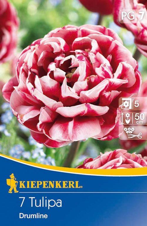 Vrtnarstvo Breskvar - Tulipa Drumline