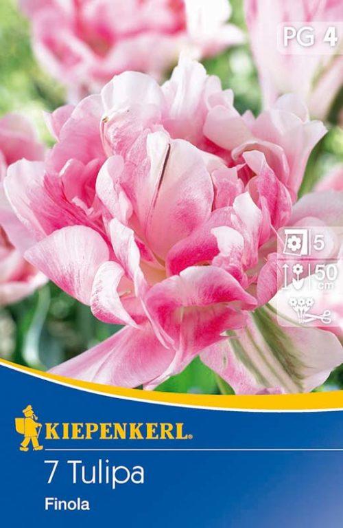 Vrtnarstvo Breskvar - Tulipa Finola