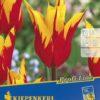 Vrtnarstvo Breskvar - Tulipa Fire Wings