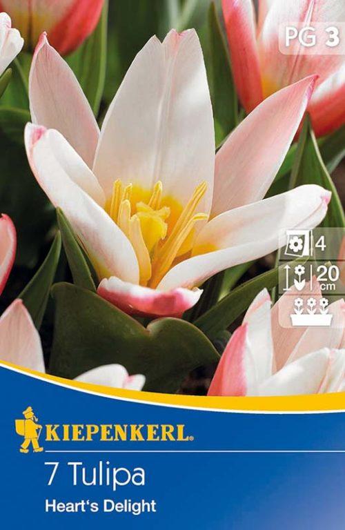 Vrtnarstvo Breskvar - Tulipa Heart's Delight