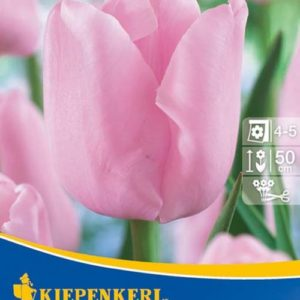 Vrtnarstvo Breskvar - Tulipa Pink Diamond