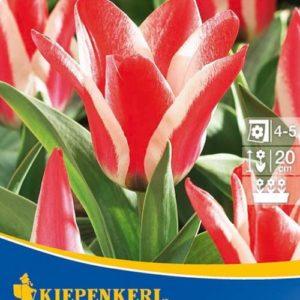Vrtnarstvo Breskvar - Tulipa Pinocchio