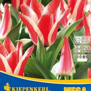 Vrtnarstvo Breskvar - Tulipa Pinocchio Mega Pack