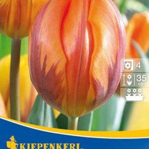 Vrtnarstvo Breskvar - Tulipa Princess Irene