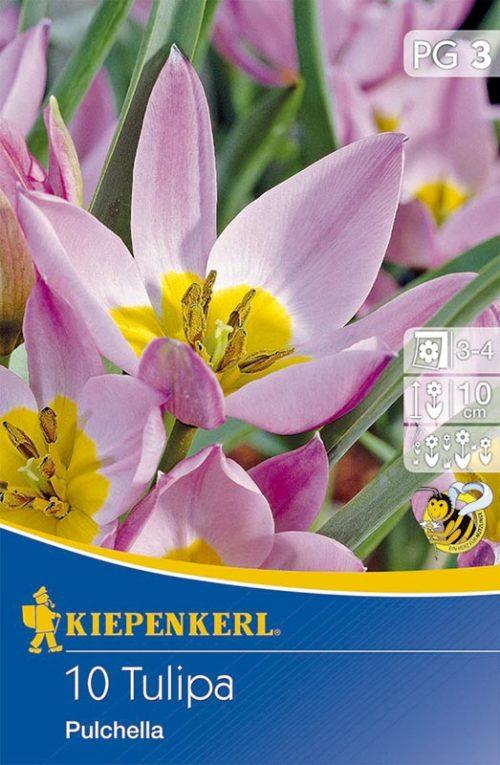 Vrtnarstvo Breskvar - Tulipa Pulchella