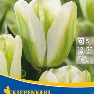 Vrtnarstvo Breskvar - Tulipa Spring Green