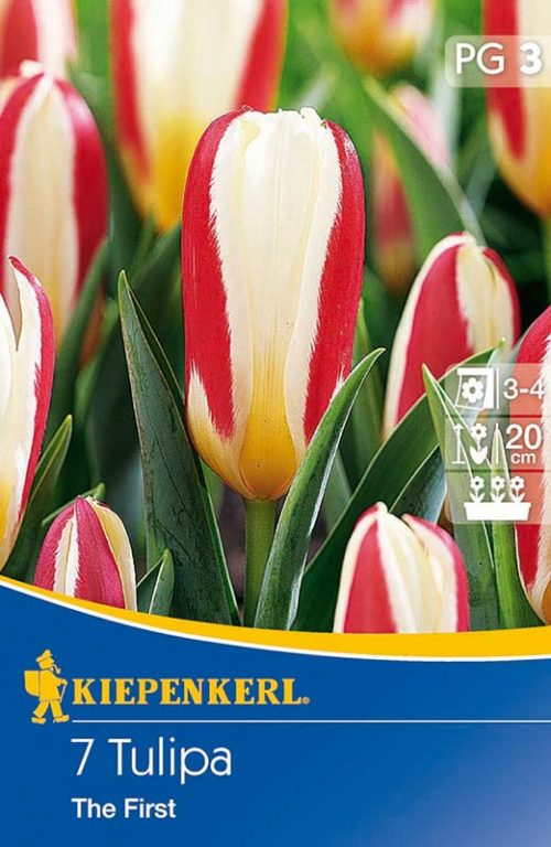 Vrtnarstvo Breskvar - Tulipa The First