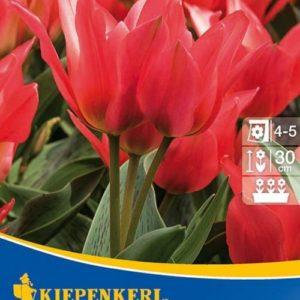 Vrtnarstvo Breskvar - Tulipa Toronto