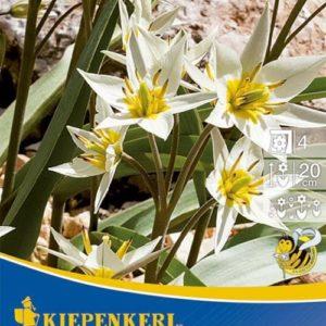 Vrtnarstvo Breskvar - Tulipa turkestanica