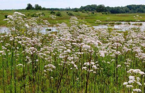Vrtnarstvo Breskvar - Valeriana officinalis