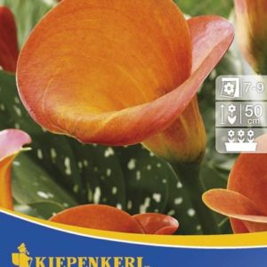 Vrtnarstvo Breskvar - Zantedeschia Orange