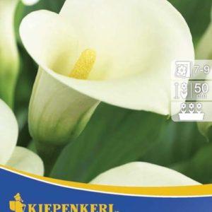 Vrtnarstvo Breskvar - Zantedeschia Weiss