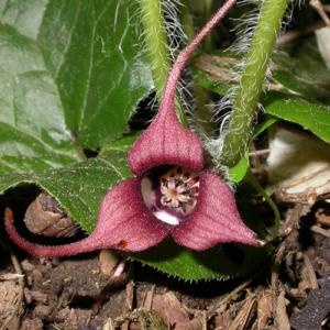 Asarum Caudatum- Vrtnarstvo Breskvar