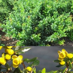 Vrtnarstvo Breskvar - Berberis frikartii Telstar