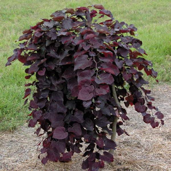 Cercis ruby falls - Vrtnarstvo Breskvar