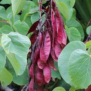 Cercis siliquastrum plod -Vrtnarstvo Breskvar