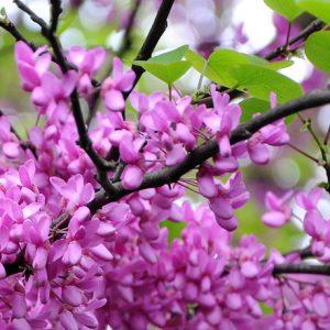 Cercis siliquastrum - Vrtnarstvo Breskvar