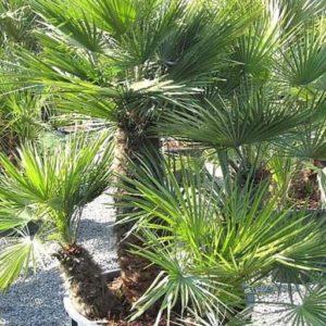 Vrtnarstvo Breskvar - Chamaerops humulis