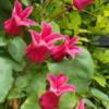 Clematis texensis Queen Maxima - Vrtnarstvo BreskvarClematis texensis Queen Maxima - Vrtnarstvo Breskvar