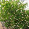 Clethra alnifolia 'Pink Spire' - Vrtnarstvo Breskvar