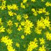 Vrtnarstvo Breskvar - Coreopsis verticillata