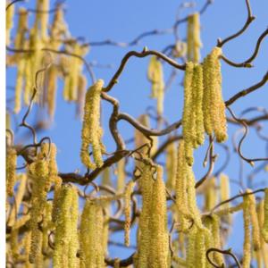 Vrtnarstvo Breskvar - Corylus avellana Contorta