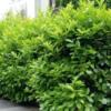 Prunus laurocerasus 'Etna' - Vrtnarstvo Breskvar
