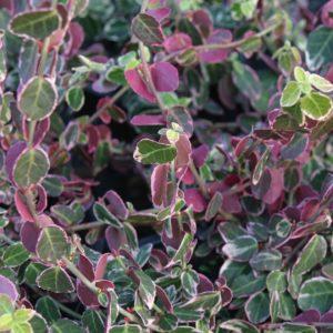 Euonymus fortunei 'Emerald Gaiety' zima - Vrtnarstvo Breskvar