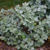 Fothergilla major 'Blue Shadow' - Vrtnarstvo Breskvar