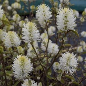 Fothergilla major 'Blue Shadow' - Vrtnarstvo Breskvar
