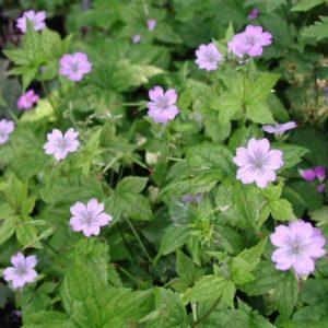Geranium nodosum - Vrtnarstvo Breskvar