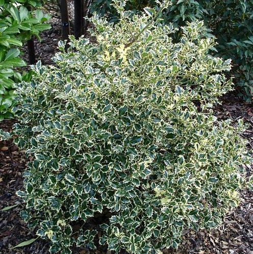 Vrtnarstvo Breskvar - Ilex aquifolium Argentea Marginata