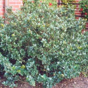 Ilex meserveae 'Blue Prince' - Vrtnarstvo Breskvar