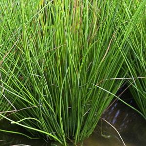 Juncus inflexus - Vrtnarstvo Breskvar