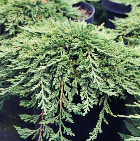 Juniperus horizontalis 'Pancake' -Vrtnarstvo Breskvar