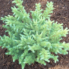 Larix kaempferi 'Grey pearl'- Vrtnarstvo Breskvar