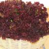 Vrtnarstvo Breskvar - Lactuca sativa Gentilina Rossa