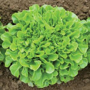 Vrtnarstvo Breskvar - Lactuca sativa Green Oakleaf F1