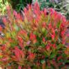 Leucothoe axilaris Little Flames - Vrtnarstvo Breskvar