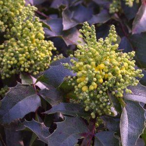 Mahonia aquifolium 'Apolo' - Vrtnarstvo Breskvar