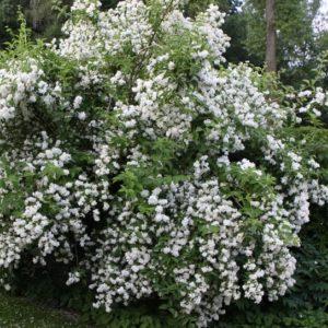 Philadelphus virginal - Vrtnarstvo Breskvar